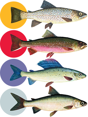 trout, char, grayling and whitefish